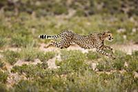 Cheetah (Acinonyx jubatus) running, Kgalagadi Tran