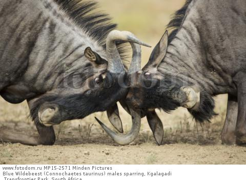 Blue Wildebeest (Connochaetes taurinus) males sparring, Kgalagadi Transfrontier Park, South Africa