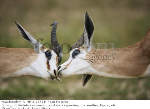 Springbok (Antidorcas marsupialis) males greeting one another, Kgalagadi Transfrontier Park, South Africa
