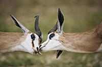 Springbok (Antidorcas marsupialis) males greeting