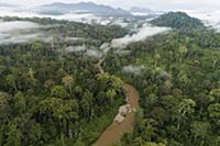 Rainforest canopy during mass flowering, Danum Val