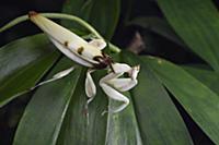 Orchid Mantis (Hymenopus coronatus), Sepilok Fores