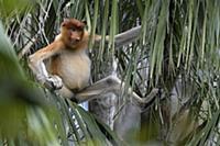 Proboscis Monkey (Nasalis larvatus) sub-adult, Bak