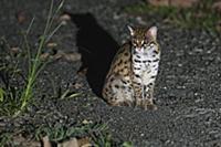 Sunda Leopard Cat (Prionailurus javanensis) at nig