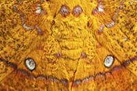 False eye spots on moth wings, Andes, Ecuador