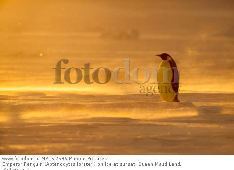 Emperor Penguin (Aptenodytes forsteri) on ice at sunset, Queen Maud Land, Antarctica