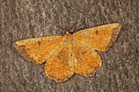 Looper Moth (Angerona prunaria), France