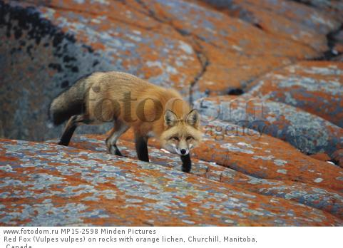 Red Fox (Vulpes vulpes) on rocks with orange lichen, Churchill, Manitoba, Canada