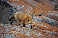Red Fox (Vulpes vulpes) on rocks with orange liche
