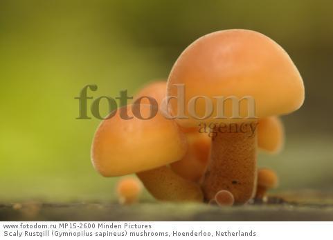 Scaly Rustgill (Gymnopilus sapineus) mushrooms, Hoenderloo, Netherlands