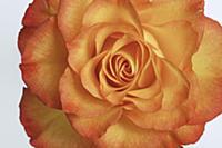 Rose (Rosa sp) flower