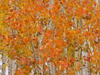 Quaking Aspen (Populus tremuloides) trees in autum