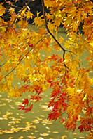 Japanese Maple (Acer palmatum) tree in autumn, Kyo