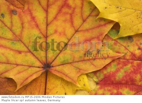 Maple (Acer sp) autumn leaves, Germany