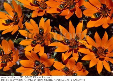 Beetle Daisy (Gorteria diffusa) spring flowers, Namaqualand, South Africa