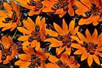 Beetle Daisy (Gorteria diffusa) spring flowers, Na