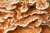 Chicken of the Woods (Laetiporus sulphureus) fungu