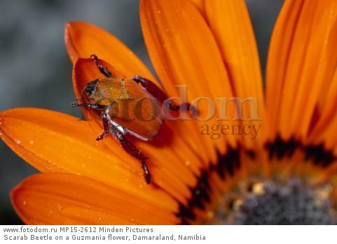 Scarab Beetle on a Guzmania flower, Damaraland, Namibia