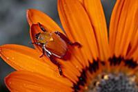 Scarab Beetle on a Guzmania flower, Damaraland, Na