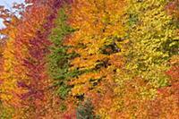 Trees in autumn, Algonquin Provincial Park, Ontari