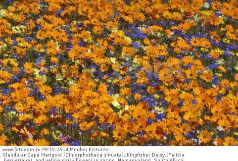 Glandular Cape Marigold (Dimorphotheca sinuata), Kingfisher Daisy (Felicia bergeriana), and yellow daisy flowers in spring, Namaqualand, South Africa