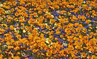 Glandular Cape Marigold (Dimorphotheca sinuata), K