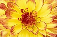 Dahlia (Dahlia sp) flower, Appeltern, Netherlands