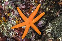 Orange Starfish (Echinaster luzonicus), Banda Sea,
