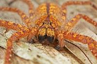 David Bowie Huntsman Spider (Heteropoda davidbowie
