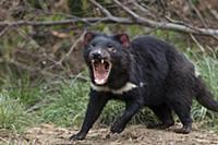 Tasmanian Devil (Sarcophilus harrisii) in defensiv