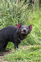 Tasmanian Devil (Sarcophilus harrisii), Bonorong W