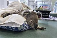 Koala (Phascolarctos cinereus) male sick with chla