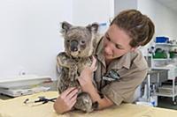 Koala (Phascolarctos cinereus) conservationist, Pa