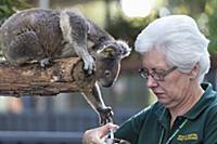 Koala (Phascolarctos cinereus) female named Sue si