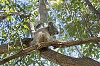 Koala (Phascolarctos cinereus) female sick with ch