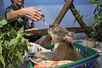 Koala (Phascolarctos cinereus) male sick with knee