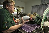 Koala (Phascolarctos cinereus) sick with chlamydia