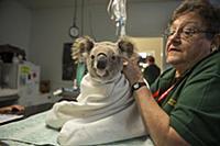Koala (Phascolarctos cinereus) being treated for c