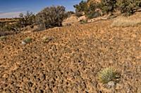 Dwarf Harriman's Yucca (Yucca harrimaniae) in cryp