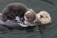 Sea Otter (Enhydra lutris) mother with three day o