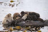 Sea Otter (Enhydra lutris) mother and six day old