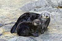 Sea Otter (Enhydra lutris) orphaned pup and surrog