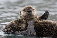 Sea Otter (Enhydra lutris) female with pup on bell