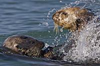 Sea Otter (Enhydra lutris) bachelor male chasing m