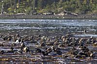 Sea Otter (Enhydra lutris) raft in kelp bed, Kodia