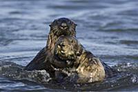 Sea Otter (Enhydra lutris) bachelor male harassing