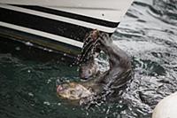 Sea Otter (Enhydra lutris) female smashing clam on