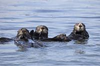 Sea Otter (Enhydra lutris) trio, Monterey Bay, Cal