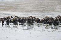Sea Otter (Enhydra lutris) raft, Monterey Bay, Cal