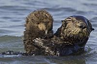 Sea Otter (Enhydra lutris) mother holding one week